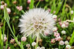 Seed Ball (wyojones) Tags: wyoming absarokamountains shoshonenationalforest chiefjosephhighway meadow seedball yellowsalsify tragopogondubius seeds seedballoon windblown wyojones np