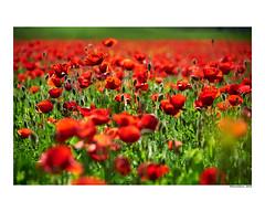 (david Ramalleira) Tags: davidramalleira nikon nature naturaleza natureart naturephotography naturesfinest naturesart natura flores flowers flower flor davidramalleiraphotography macro macrophotography spring primavera