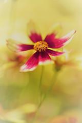 Coreopsis (rvtn) Tags: coreopsis red orange yellow flowers flower summer bokeh
