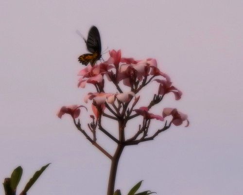 Common Birdwing At First Daylight Outside Hua Hin - Thailand