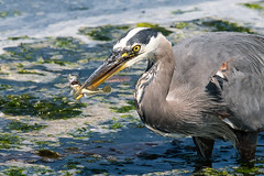 Great Blue Heron with fish (mjeedelbr) Tags: great blue heron fish