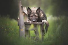 Ceppe (Photography Ilona Mikkonen) Tags: germanshepherd summer green shepherd dogphotography canon socute hund pet petphoto