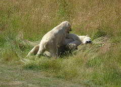 "C'mon Pixel, time to wake up! (Nissan) (LadyRaptor) Tags: yorkshirewildlifepark yorkshire wildlife park doncaster ywp nature outdoors summer time summertime sunny sun shine sunshine grass hill play playing playful fight fighting spar sparring laying rolling happy content fun ""best friends"" bffs besties bromance friends friendly cute animal animals predator carnivore caniformia ursidae polarbear polarbears male polar bear bears ursusmaritimus projectpolar pixel nissan"