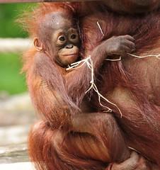 Orangutan Indah Apenheul JN6A4957 (j.a.kok) Tags: orang orangutan orangoetan animal aap ape apenheul mammal monkey mensaap primate primaat zoogdier dier asia azie indah