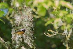 Splendeur d'été (Eric Penet) Tags: animal juin été oiseau sauvage mormal bird locquignol avesnois nature nord forêt france faune forest rougequeue front blanc redstart passereau