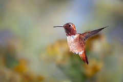 Dancing in the Air (Patricia Ware) Tags: allenshummingbird backyard birdsinflight california canon fullframe manhattanbeach multipleflash selasphorussasin tripod httppwarezenfoliocom ©2018patriciawareallrightsreserved specanimal