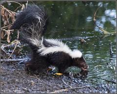 Striped Skunk 3586 (maguire33@verizon.net) Tags: frankgbonelliregionalpark mephitismephitis stripedskunk skunk wildlife sandimas california unitedstates us