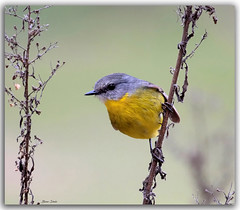 Eastern Yellow Robin (Bear Dale) Tags: eastern yellow robin scientific name eopsaltria australis ulladulla south coast new wales australia nikkor afs 200500mm f56e ed vr nikon d850 bird birds lake conjola dale feathers bokeh nature fotoworx beardale lakeconjola shoalhaven southcoast framed aves pájaro oiseau desoiseaux lanature naturaleza photo photograph groups group flickr naturephotography