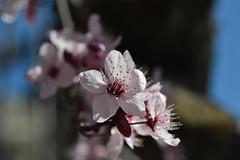 DSC_6104 (Hachimaki123) Tags: plant planta flor flower prunus