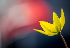 Parked by a flower (Dan Österberg) Tags: flower flowers macro yellow beautiful nature soft bokeh artistic mft olympus blur pretty summer spring