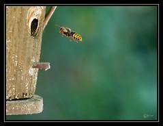 Frelon (Olympus Passion eric leroy) Tags: olympus omdem1 omdem1mk2 zuiko 40150pro macro proxi insecte frelon hymenoptere nid
