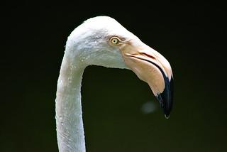 Wet Flamingo