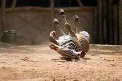 Scratch my back. (Jean-Pierre Robbens) Tags: zebra zoo animals