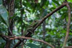 Ecuadorian Amazon Jungle (Haydo Rellim) Tags: south america americas latin spanish amazon ecuador lizard gecko green tree trees branches branch brown hide camouflage eyes wildlife jungle forest sacha lodge la selva