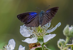DSC7752 Purple Hairstreak. (jefflack Wildlife&Nature) Tags: purplehairstreak hairstreak butterflies butterfly insects insect lepidoptera wildlife wetlands woodlands moorland marshland marshes meadows heathland hedgerows glades copse wildflowers wildlifephotography jefflackphotography countryside nature