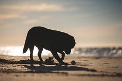 A dog, a ball on a beach at sunset... (Marcus Legg) Tags: max black blacklabradorretriever labrador retriever beach bokeh silhouette ball sea waves ocean dog pet animal canon eos 1dx ef70200mmf28lisii