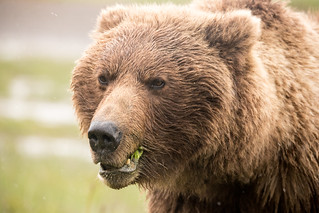 Portrait of Another Coastal Brown Bear