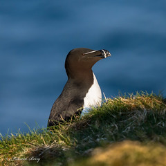 Razorbill 05-May-18  M_007 (gomo.images) Tags: 2018 aberdeenshire animals bird country nature rspbscotlandfowlsheugh rabbit razorbill scotland stonehaven years
