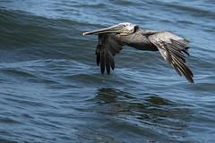 Cruisin (TW Olympia) Tags: brown pelican westport washington water