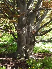 Lisle, IL, Morton Arboretum, Golden Beech Tree (Mary Warren 11.0+ Million Views) Tags: lisleil mortonarboretum nature flora spring tree trunk bark goldenbeech green leaves foliage