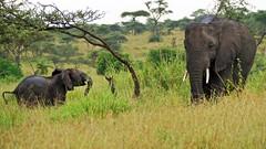 mother and child (tor-falke) Tags: africa afrika afrique african afrikanwildlife safari fotosafari photosafari elefant elephant éléphant wild wildlife serengeti tansania flickrtorfalke torfalke mother child ngc tier baum gras feld himmel landschaft