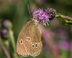 Butterfly 3 (Craig Hannah) Tags: insect nature wildlife saddleworth oldham lancashire greatermanchester england uk westriding yorkshire invertebrate craighannah july 2018 photography photos canon macro summer