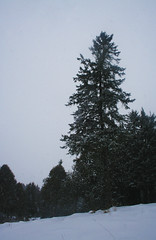 Roi Des Forêts (ETt_) Tags: pin pintrees fur furtree forest snow winter dark grey