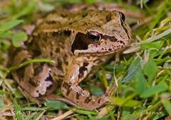 European Common Brown Frog (Rana temporaria) (Brian Carruthers-Dublin-Eire) Tags: common frog rana temporaria commonfrog ranatemporaria amphibian animalia animal chordata amphibia anura ranidae rtemporaria nature wildlife ireland
