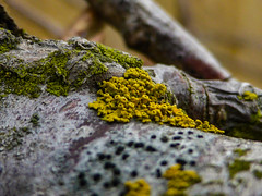 Green and Yellow Lichen (Steve Taylor (Photography)) Tags: lichen brown green yellow black newzealand nz southisland canterbury christchurch northnewbrighton branch tree bark texture bokeh