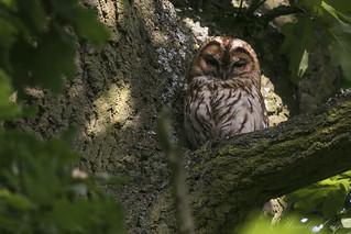 Tawny Owl-7310