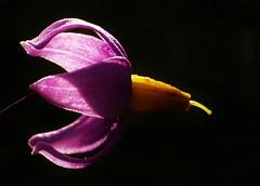 Pretty Deadly..x (Lisa@Lethen) Tags: deadly nightshade lowkey sunlight black background nature garden summer flower stamen petals