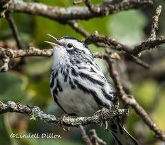 Black-and-white Warbler (Lindell Dillon) Tags: blackandwhitewarbler neotropical birding bird nature oklahoma wildoklahoma