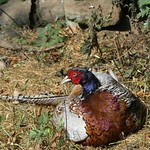Pheasant P1920521 thumbnail
