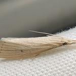 5492 – Eoreuma densella – Wainscot Grass-veneer Moth thumbnail