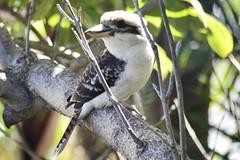 Laughing Kookaburra (Dacelo novaeguineae) (Urban and Nature OZ) Tags: kookaburra laughingkookaburra birds kingfisher australianbirds