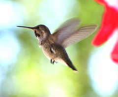 Pretty Little Costa's Hummingbird Passes Petunias (Ramona Pioneer Girl) Tags: ramonacalifornia hummingbird hummingbirds bird birds bif birdinflight nature photography panasonic lumix fz300 cute pretty colorful 2018 bokeh bokehphotography bokehlicious depthoffield costas costashummingbird costashummingbirdshummingbird hummingbirdanimal hummingbirdfeeder hummingbirdfeeding hummingbirdorganismclassification hummingbirdnest hummingbirdnectar slowmotionhummingbirds factsabouthummingbirds hummingbirdfun hummingbirdfly hummingbirdbaby hummingbirdbath hummingbirdfood hummingbirdeggs hummingbirdlove hummingbirs hummingbirdtonge hummingbirdsound hummingbirdeating hummingbirdsnores naturaleza day sunny daylight light bright green purple gorget fliers flier flies fly camera lumixfz300 pose flight kodak kodakmoment naturephotography