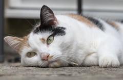 Hot! (Chickpeasrule) Tags: twiggy calico hot patio macro kitty