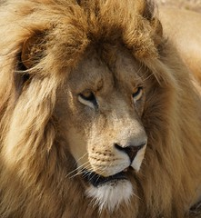 Yorkshire Wildlife Park....17.07.18 008 (Andrew Burling (SnapAndy1512)) Tags: yorkshirewildlifepark170718 yorkshirewildlifepark yorkshire lions lion bigcats animals zoo
