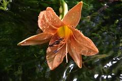 DSC_8767 (griecocathy) Tags: macro fleur lys eau gouttelette étamines pistil pétale algues mosaïque oranger jaune violine vert éclat lumineux