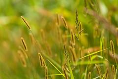 Am Wegrand (Ernst_P.) Tags: aut inzing österreich tirol gras pflanze samyang walimex 135mm f20 manualfocus captureone bokeh