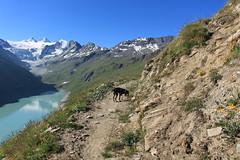 Nasco à Moiry (bulbocode909) Tags: valais suisse moiry valdanniviers montagnes nature chiens sentiers lacdemoiry lacs neige glaciers glacierdemoiry grandcornier dentblanche paysages vert bleu fleurs grimentz