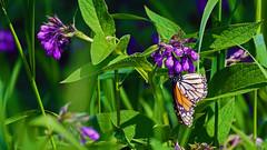 Northern Bluebells (Mertensia paniculata) and Monarch (Danaus plexippus), Miller Creek - Duluth MN, 06/25/18 (TonyM1956) Tags: elements danausplexippus monarch sonyalphadslr
