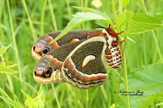 Cecropia Silkmoth