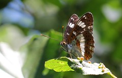 White Admiral 280618  (2) (Richard Collier - Wildlife and Travel Photography) Tags: butterflies whiteadmiral insects british closeup macro brownseaisland dorset dorsetwildlife