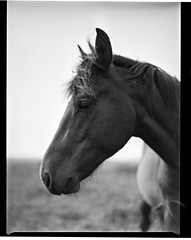 New Forest Pony III (Graham Hodgetts) Tags: horse pony newforestpony worthing sussex countryside rural film ilford delta100 standdeveloped mamiya645super filmsnotdead 80mm