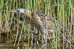 (536) Bird - Bittern - Lakenheath Fen RSPB Reserve (NikonJeremy) Tags: lakenheathfen lakenheath bittern rspb bird merehide
