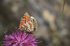 papillon (bulbocode909) Tags: valais suisse papillons insectes nature montagnes printemps fleurs orange