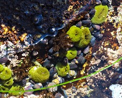 Anemones (phone.o.graph) Tags: tide pools nature tidepool tidepools underwater