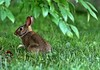 Rabbit (mpalmer934) Tags: rabbit bunny grass summer