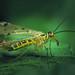 Mr. Scorpionfly
